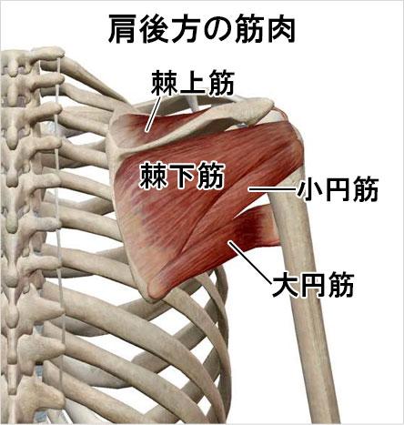 肩後方の筋肉